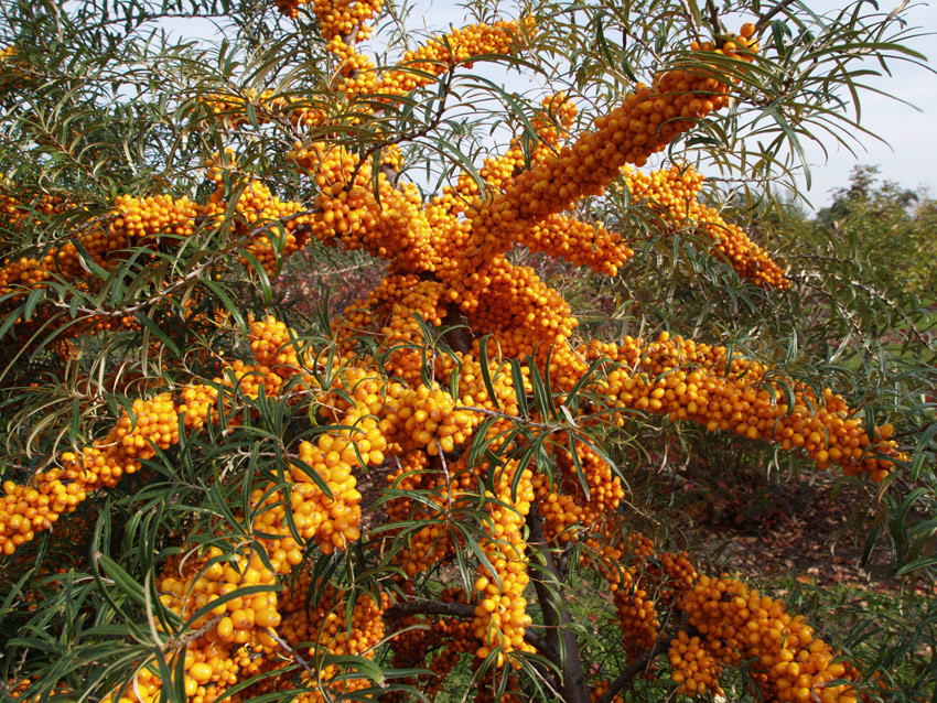 HIPPOPHAE rhamnoides ´Orange Energy´® (´Habego´)Ⓢ