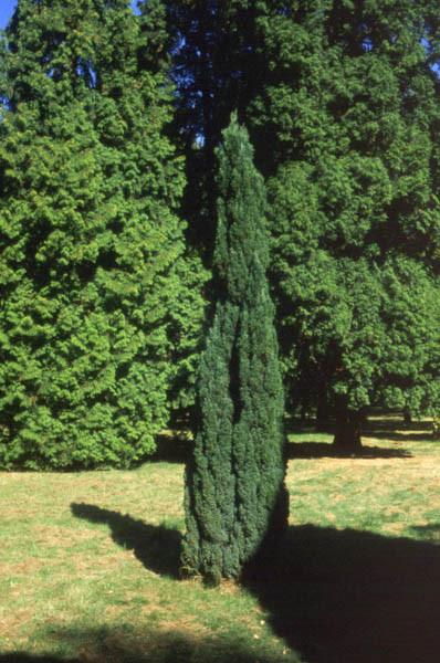 CHAMAECYPARIS lawsoniana ´Ellwoodii´