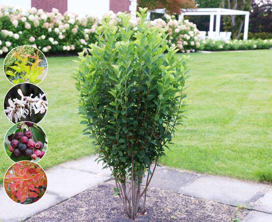 AMELANCHIER ´Rainbow Pillar´® (´Glennform´)