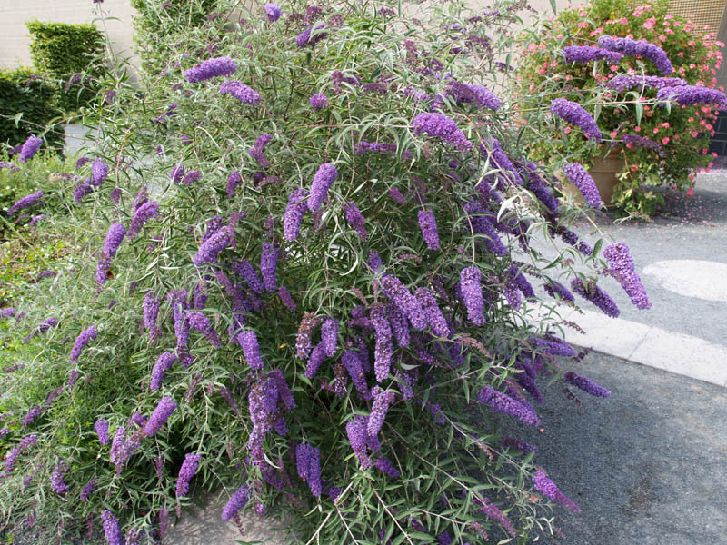 BUDDLEJA davidii ´Empire Blue´