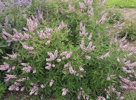 VITEX agnus-castus ´Pink Pinnacle´ (´V07 SC OP 4´)Ⓢ