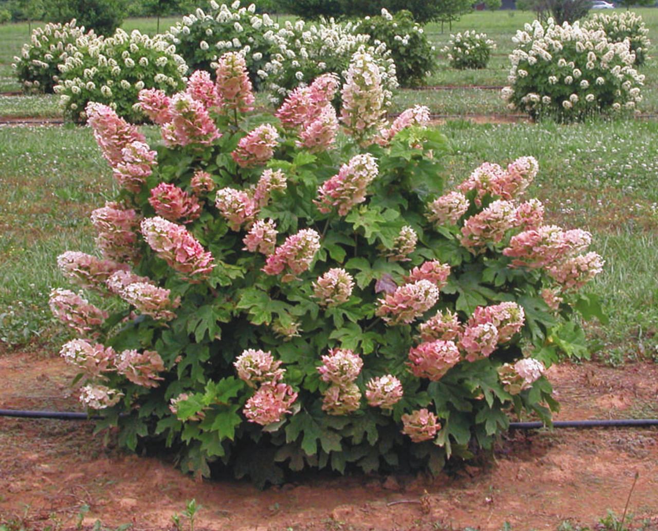 HYDRANGEA quercifolia ´Ruby Slippers´