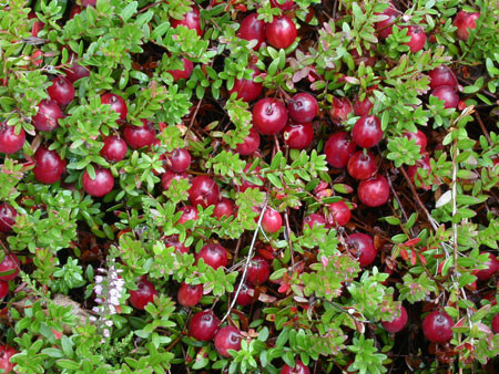 Super VACCINIUM macrocarpon ´Stevens´ | Sortiment/Shop | Kordes Jungpflanzen #ZT_42