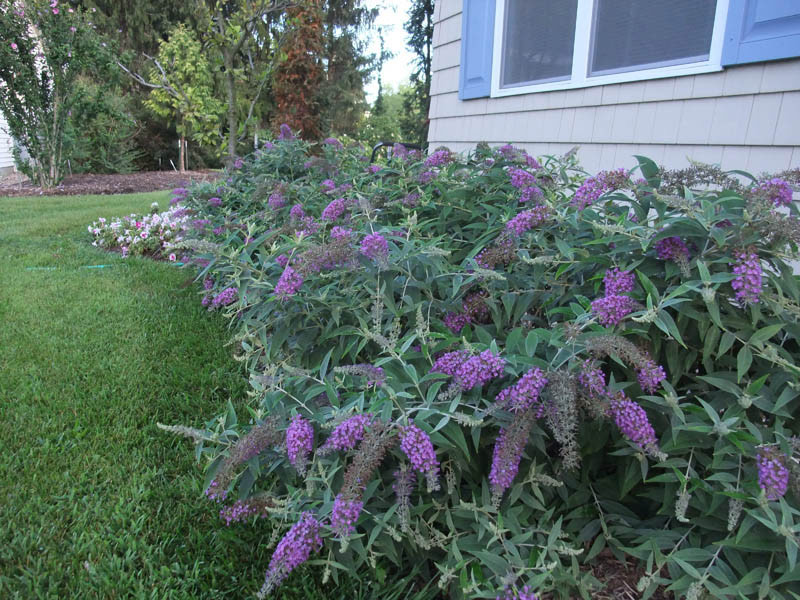 BUDDLEJA ´Purple Chip´® (´Purple Haze´)Ⓢ PW®