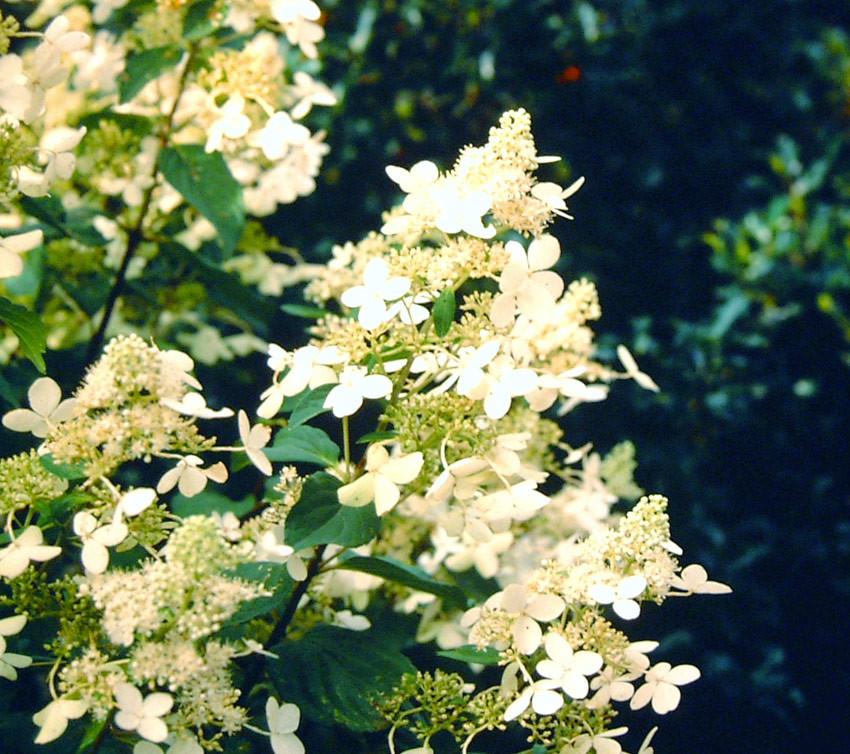 HYDRANGEA paniculata ´Kyushu´