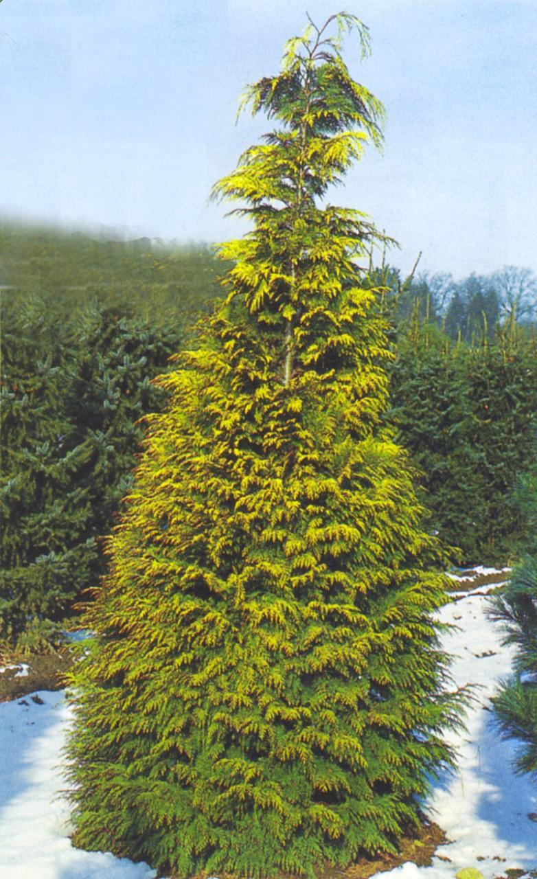 CHAMAECYPARIS lawsoniana ´Stardust´