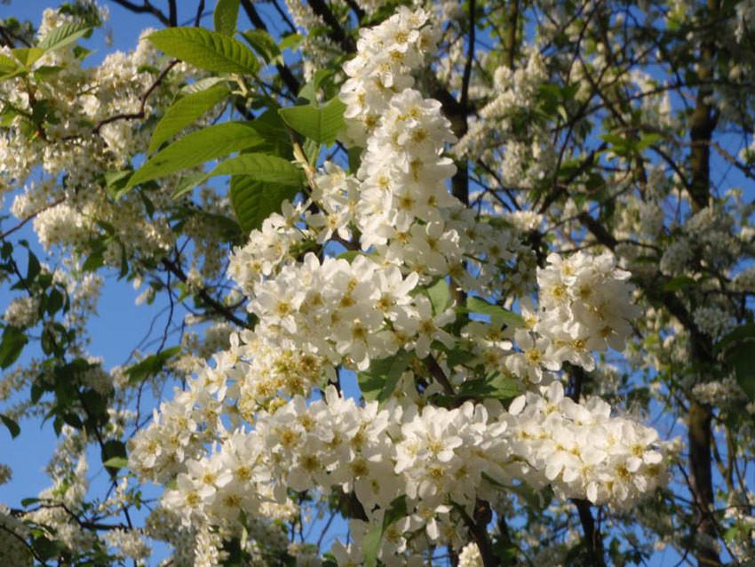 PRUNUS padus (= racemosa)