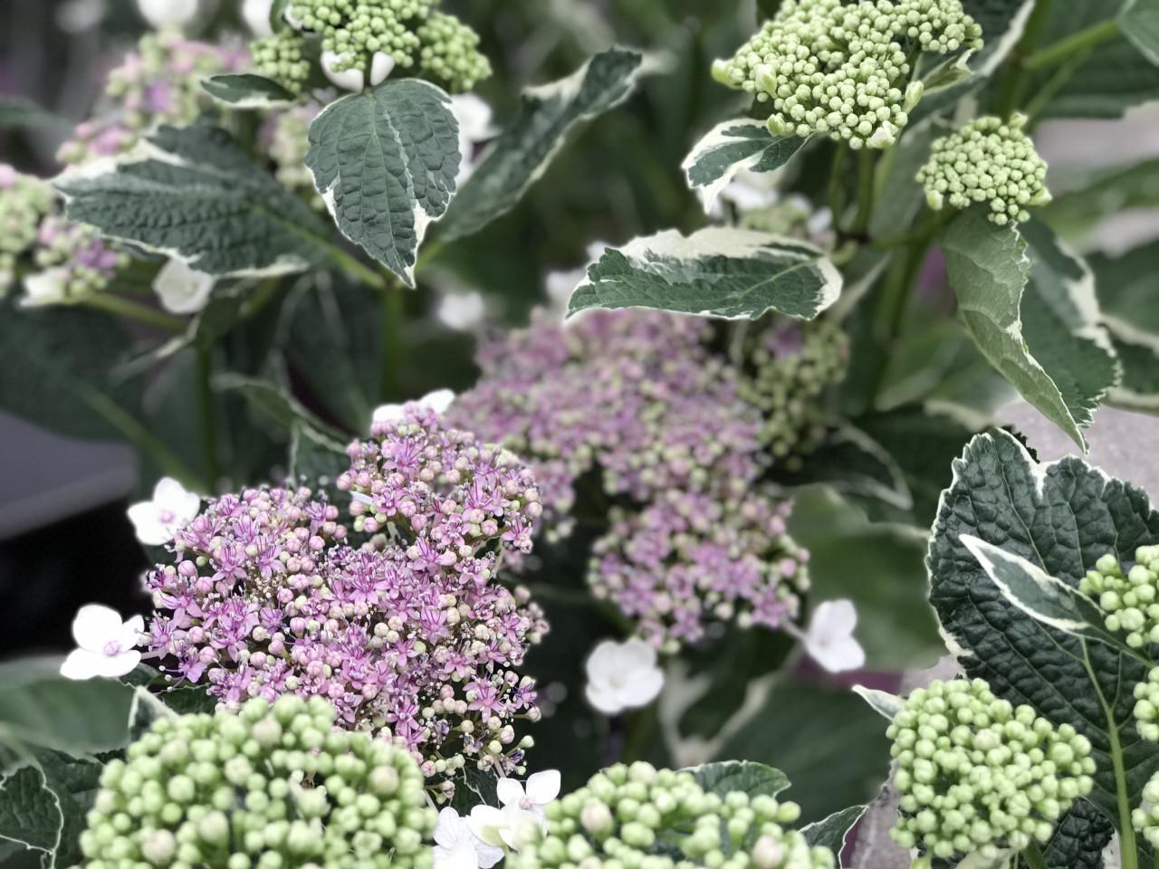 HYDRANGEA macrophylla ´Light-O-Day´ (´Bailday´) FE®