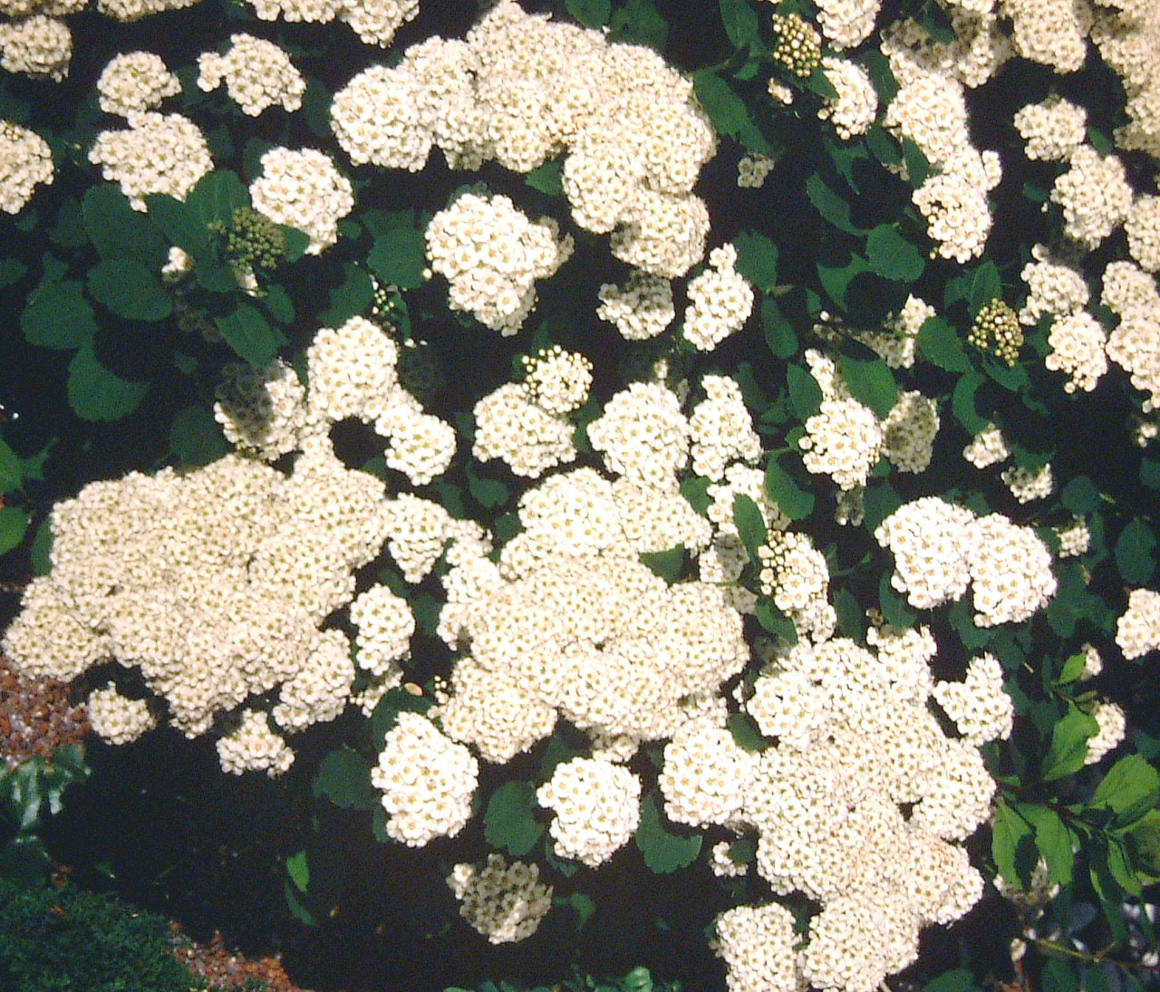 SPIRAEA betulifolia ´Tor´