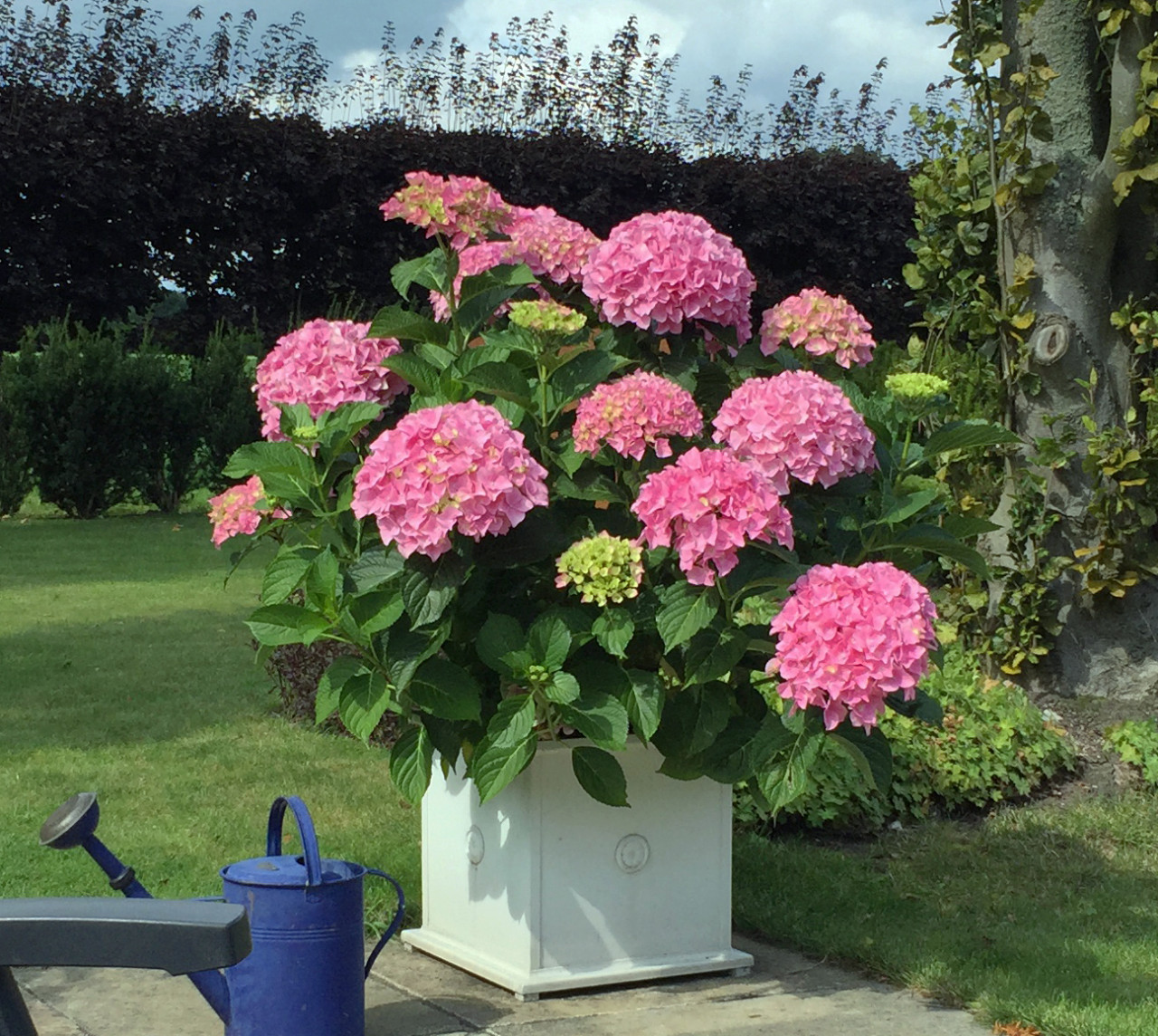 HYDRANGEA macrophylla ´Belle Seduction´® (´Bodalan´)Ⓢ