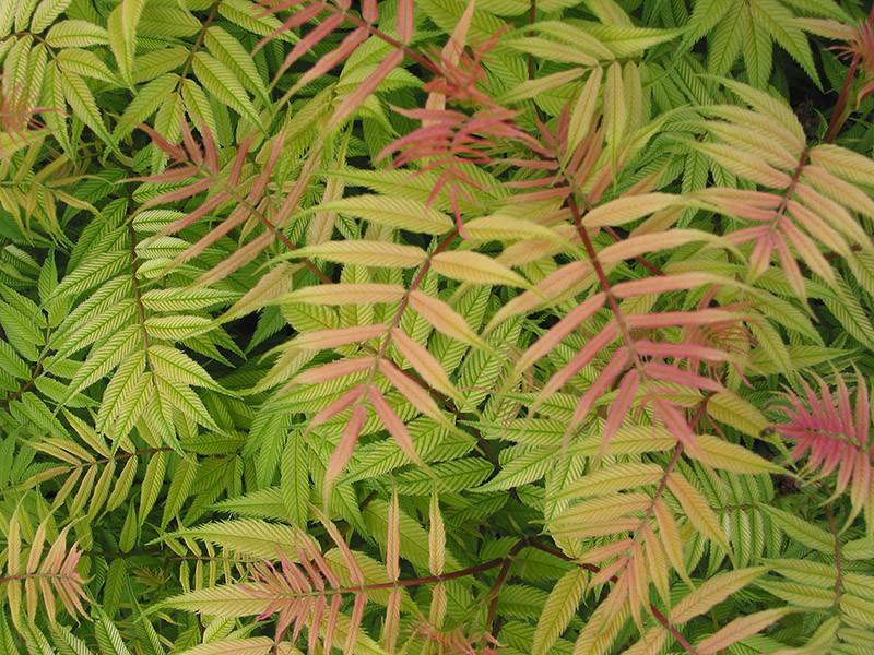 SORBARIA sorbifolia ´Sem´Ⓢ