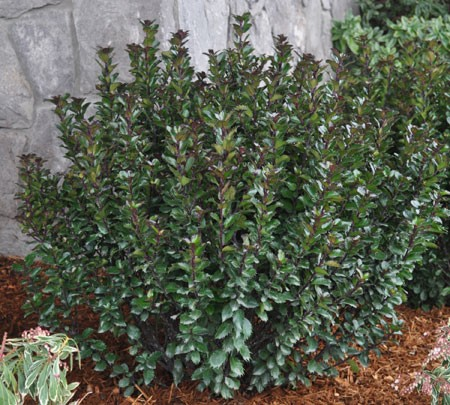 ILEX meserveae ´Little Pirate´® (´Monnieves´)Ⓢ
