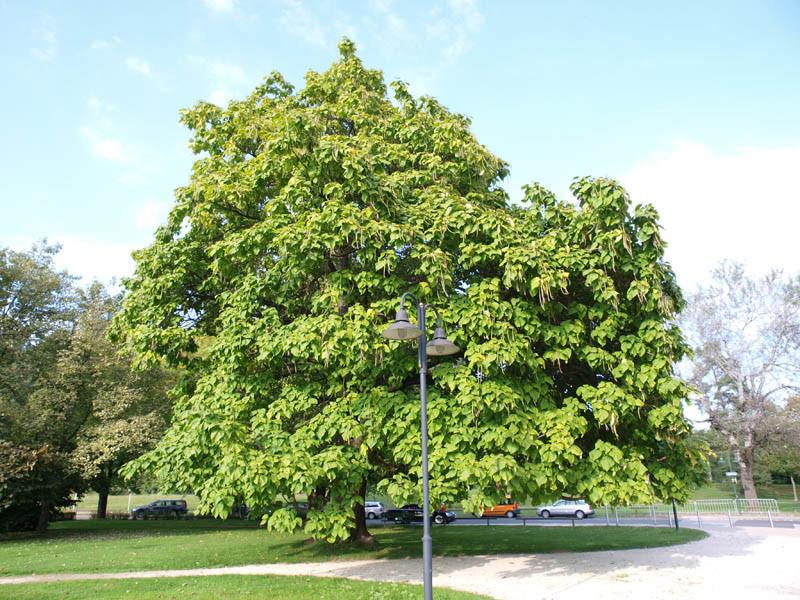 CATALPA bignonioides (= syringaefolia)