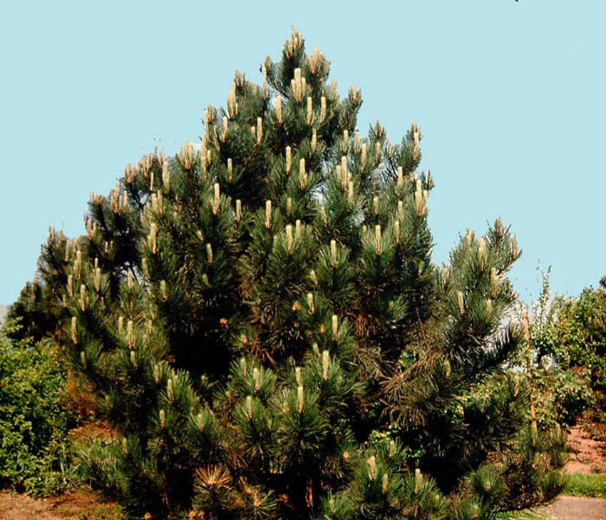 PINUS nigra nigra (= nigra var. austriaca, austriaca, P. laricio)