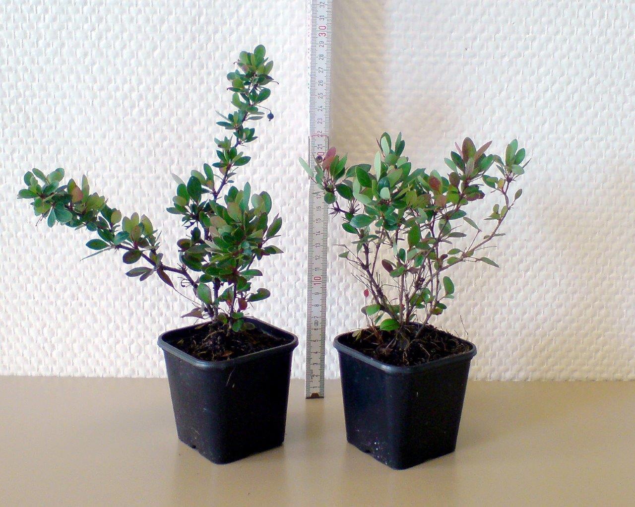 BERBERIS buxifolia ´Nana´