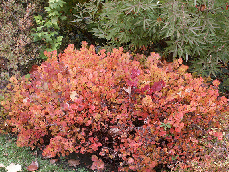 SPIRAEA betulifolia
