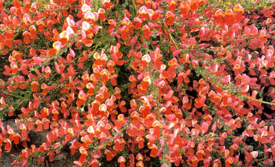 cytisus scoparius roter favorit red favourite decidous rh koju de