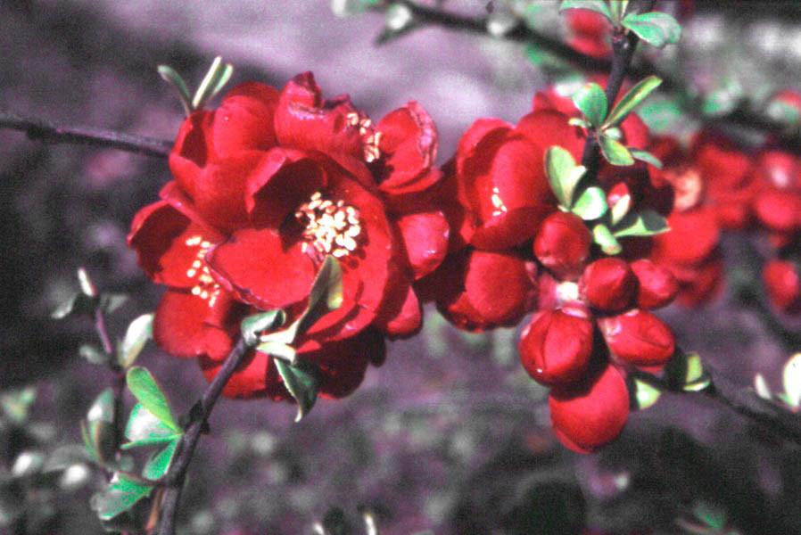 CHAENOMELES japonica (= maulei, Cydonia japonica, Cydonia maulei)