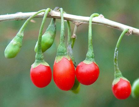 LYCIUM barbarum (= europaeum, halimifolium, vulgare)