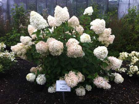 hydrangea paniculata phantom decidous trees and shrubs assortment shop kordes jungpflanzen. Black Bedroom Furniture Sets. Home Design Ideas