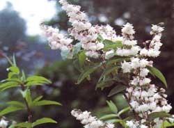 DEUTZIA scabra ´Plena´ (= scabra roseoplena, crenata plena, crenata purpurata plena)