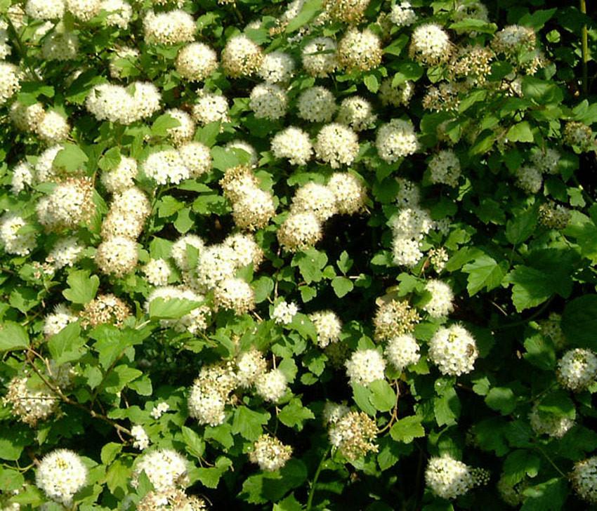 PHYSOCARPUS opulifolius (= Spiraea opulifolia)