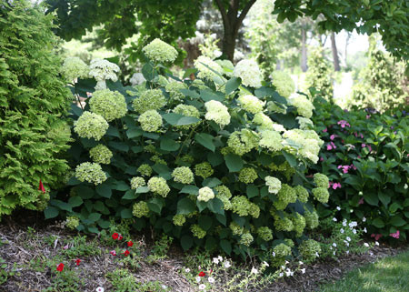 HYDRANGEA arborescens ´Lime Rickey´ (´SMNHALR´)Ⓢ PW®