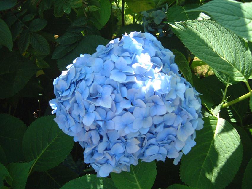 HYDRANGEA macrophylla ´Générale Vicomtesse de Vibraye´