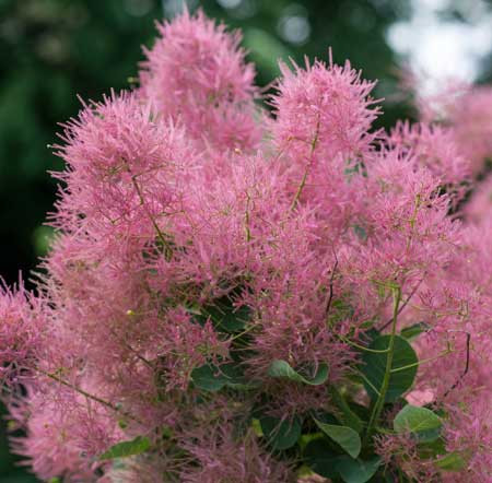 COTINUS coggygria ´Smokey Joe´ (´Lisjo´)Ⓢ