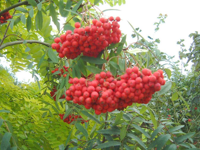 SORBUS aucuparia ´Edulis´ (= var. edulis, var. dulcis, var. moravica, ´Rossica´)