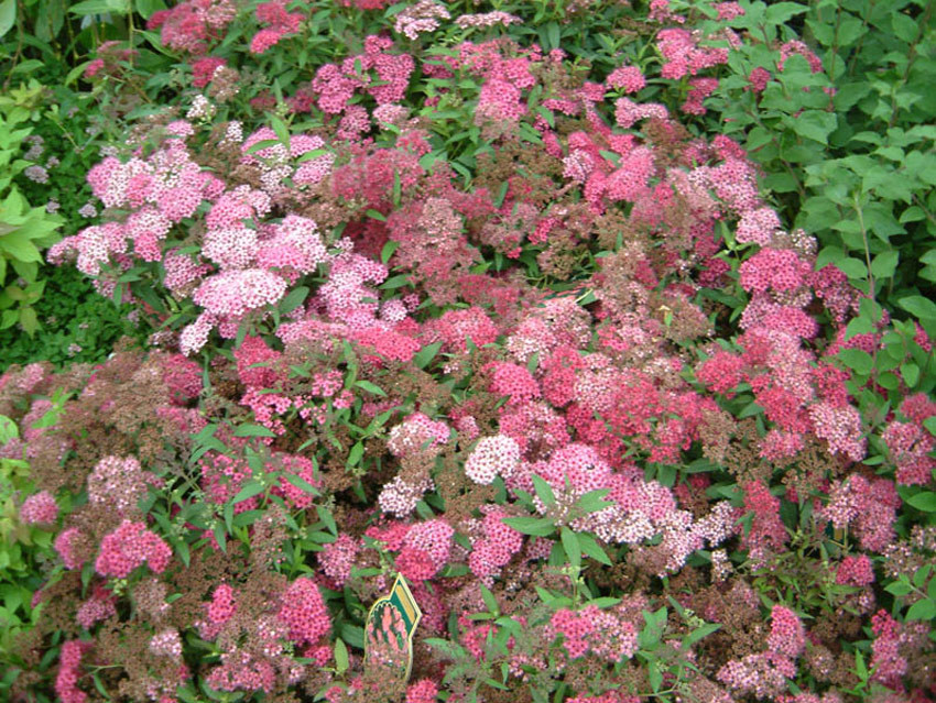 SPIRAEA japonica ´Anthony Waterer´ (= bumalda ´Anthony Waterer´)