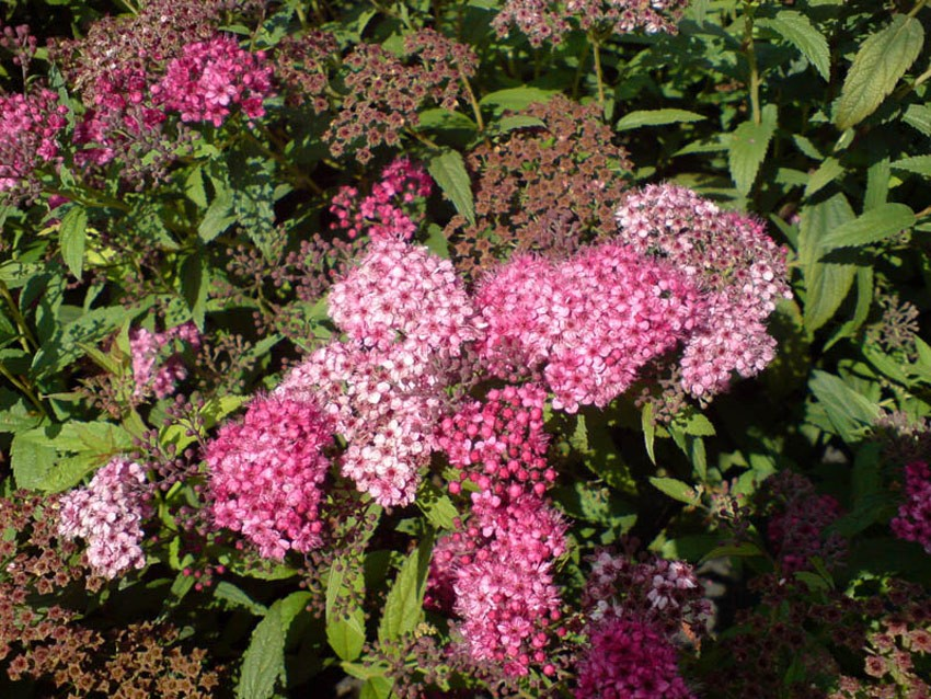 SPIRAEA japonica ´Anthony Waterer´ - Sapho (= bumalda ´Anthony Waterer´ - Sapho)