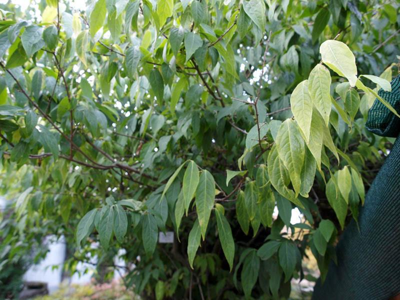 CHIMONANTHUS praecox (= fragrans, Calycanthus praecox)