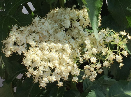 SAMBUCUS nigra ´Green Tower´®