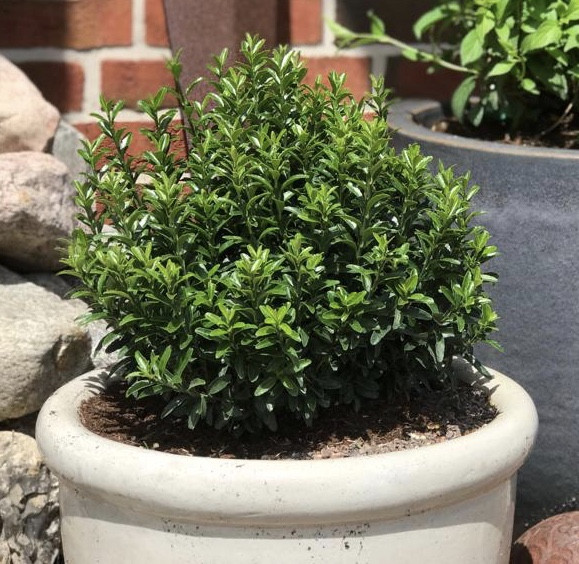 EUONYMUS japonicus ´Green Empire´®