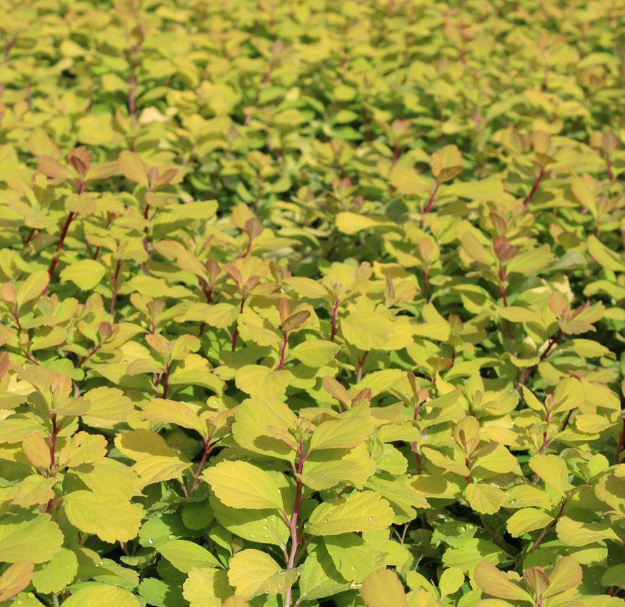 SPIRAEA betulifolia ´Tor Gold´Ⓢ (= ´Glow Girl´)