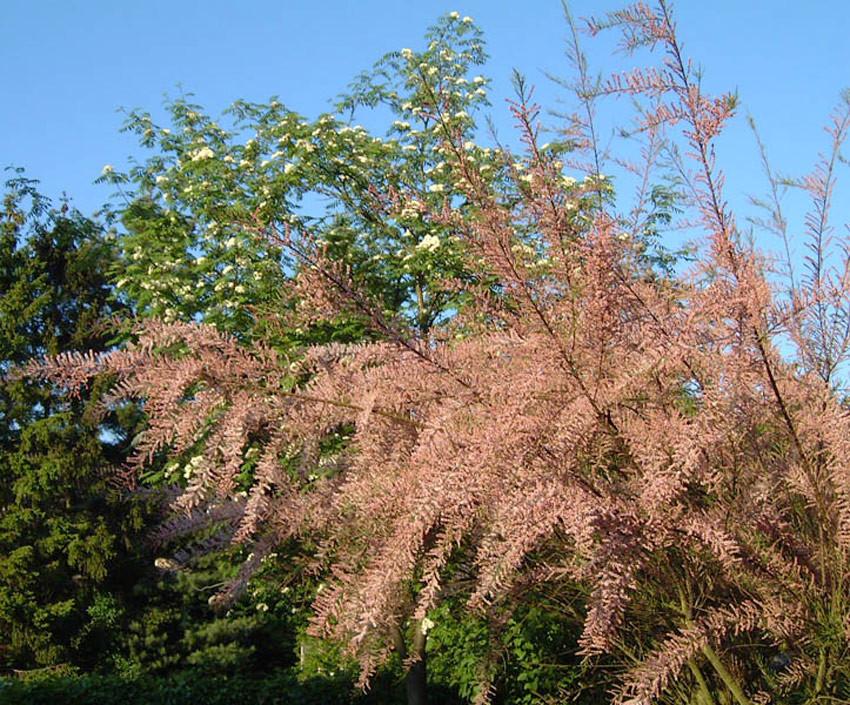 TAMARIX parviflora (= tetrandra var. purpurea)