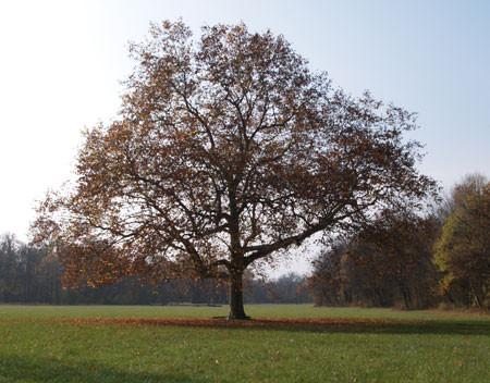 PLATANUS hispanica (= acerifolia, hybrida)