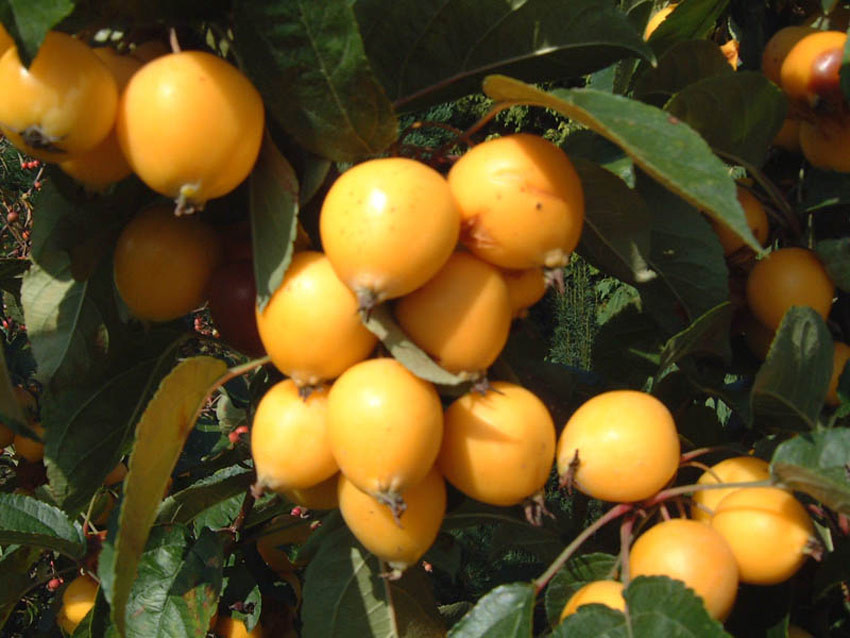 MALUS ´Golden Hornet´