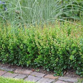 BERBERIS buxifolia ´Nana´ (= buxifolia ´Pygmaea´, dulcis nana)