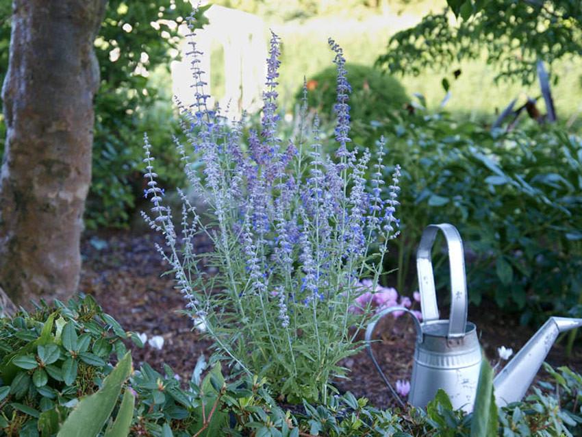 PEROVSKIA atriplicifolia ´Lacey Blue´ (´Lisslitt´)Ⓢ