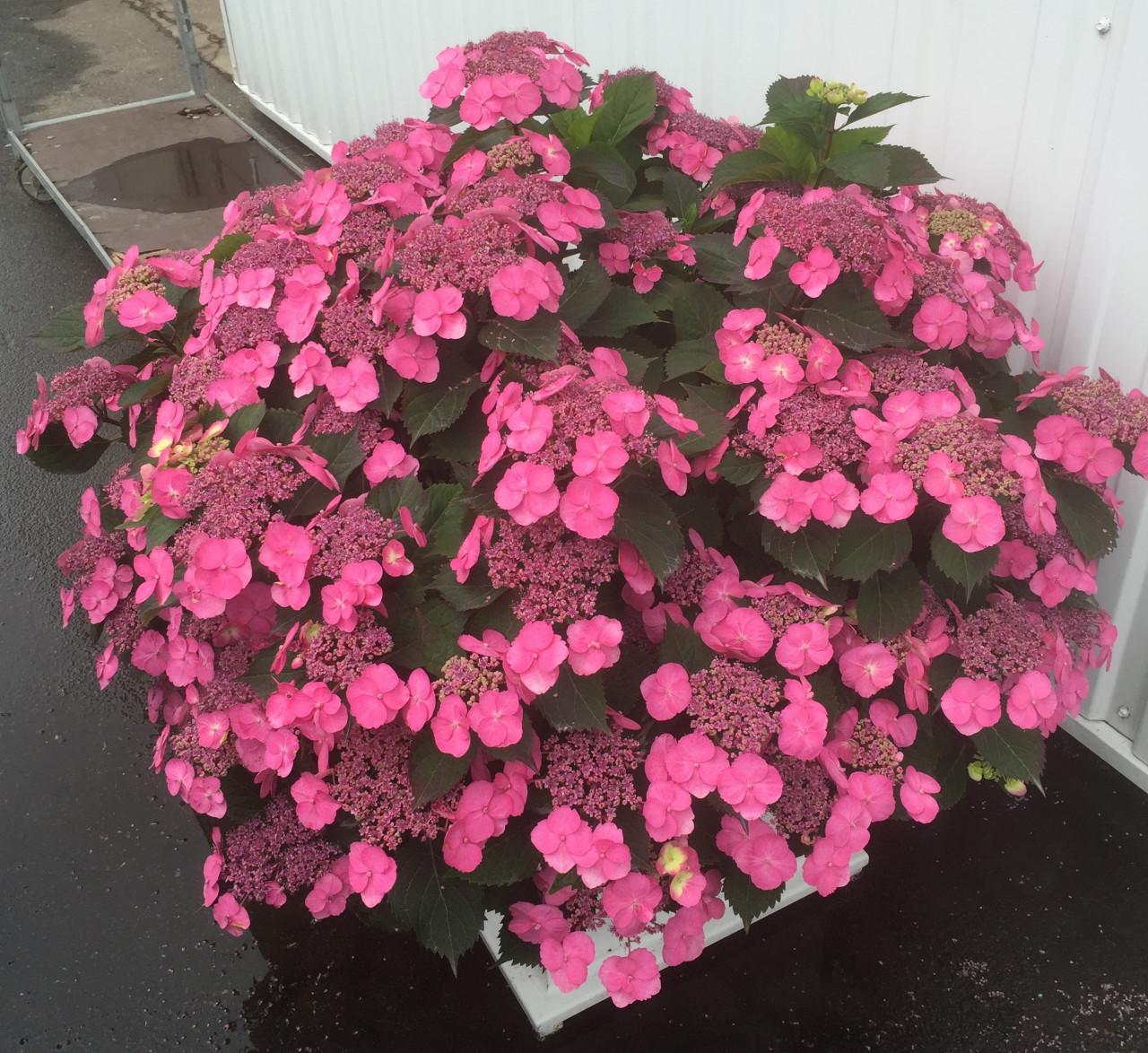 HYDRANGEA serrata ´Cotton Candy´ (´MAK20´)Ⓢ (=Hydrangea serrata ´Tuff Stuff´)® PW®