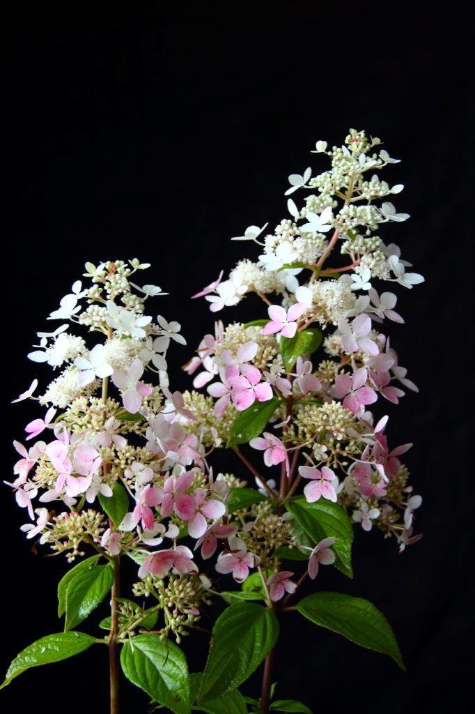 HYDRANGEA paniculata ´Confetti´ (´Vlasveld 02´)Ⓢ