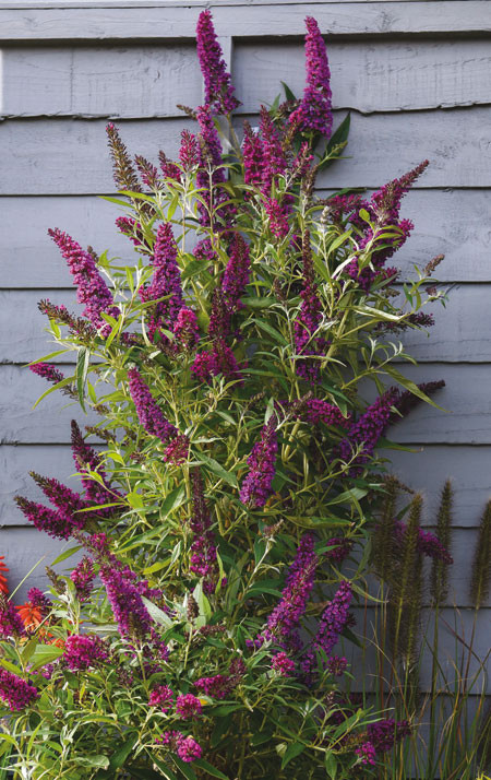 BUDDLEJA davidii ´Butterfly Tower´(´TOBUD1305´)Ⓢ