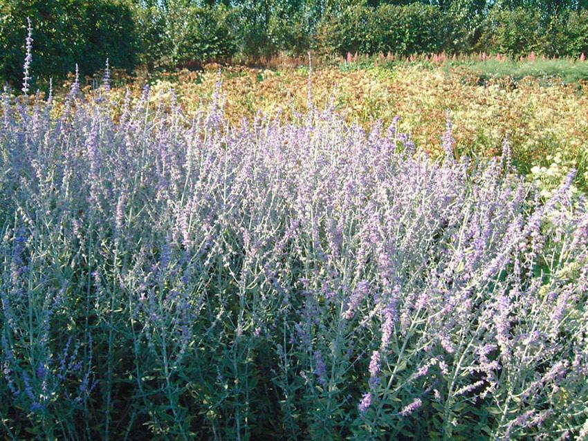 PEROVSKIA atriplicifolia ´Little Spire´Ⓢ