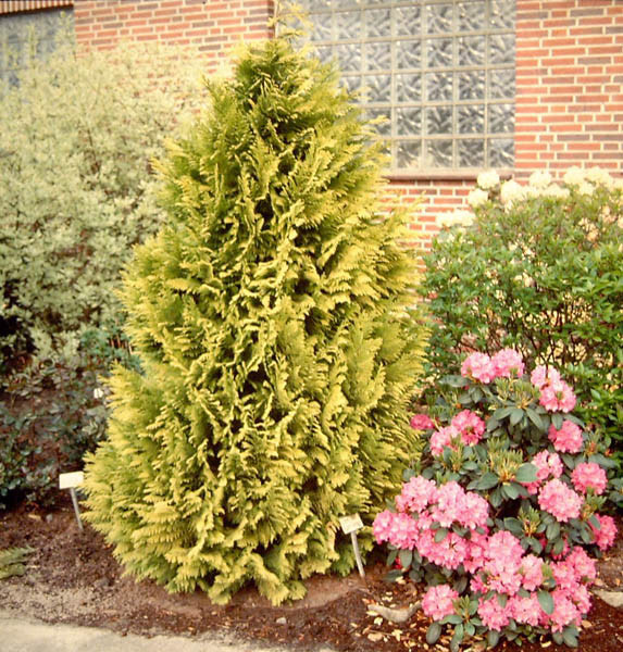 CHAMAECYPARIS lawsoniana ´Golden Wonder´
