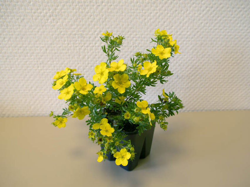POTENTILLA fruticosa ´Dakota Sunspot´®