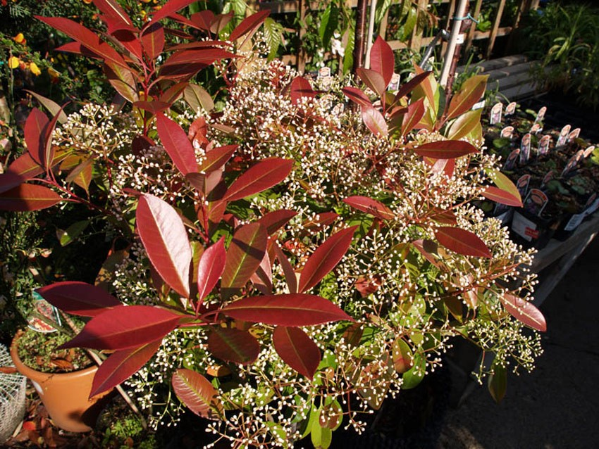 PHOTINIA fraseri ´Red Robin´