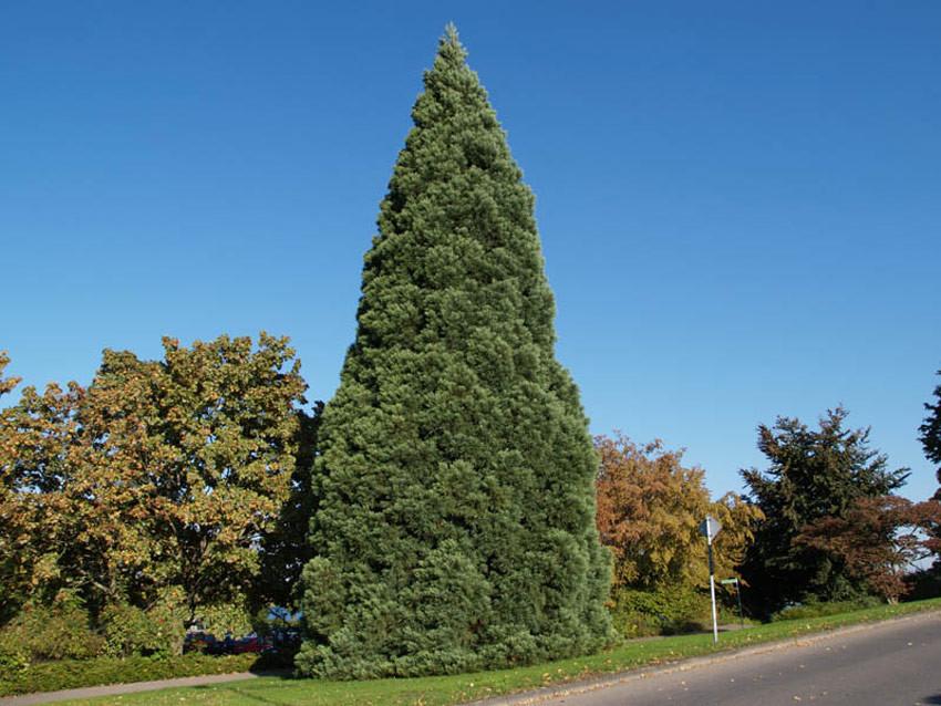 SEQUOIADENDRON giganteum (= Wellingtonia gigantea, Sequoia gigantea, Sequoia wellingtonia)
