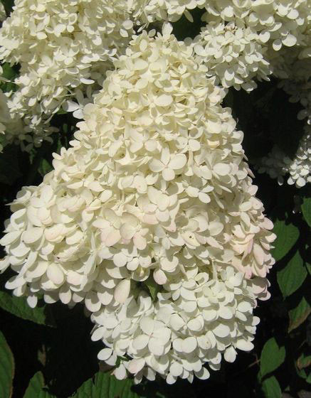 HYDRANGEA paniculata ´Magical® Sweet Summer´ (´Bokrathirteen´)Ⓢ